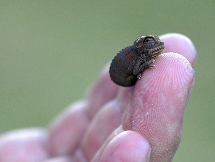 01 camaleonti piccolissimi