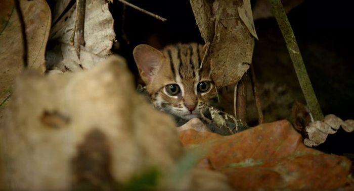 01 il gatto selvatico più piccolo del mondo