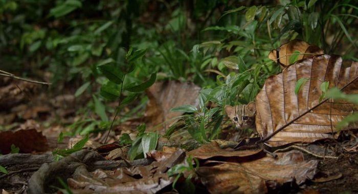 02 il gatto selvatico più piccolo del mondo