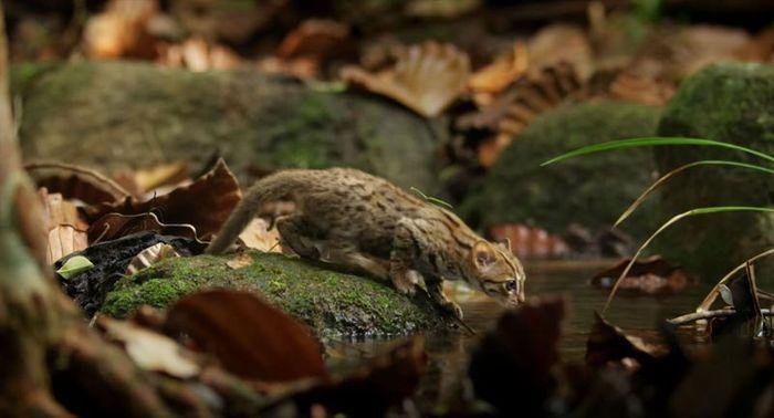 03 il gatto selvatico più piccolo del mondo