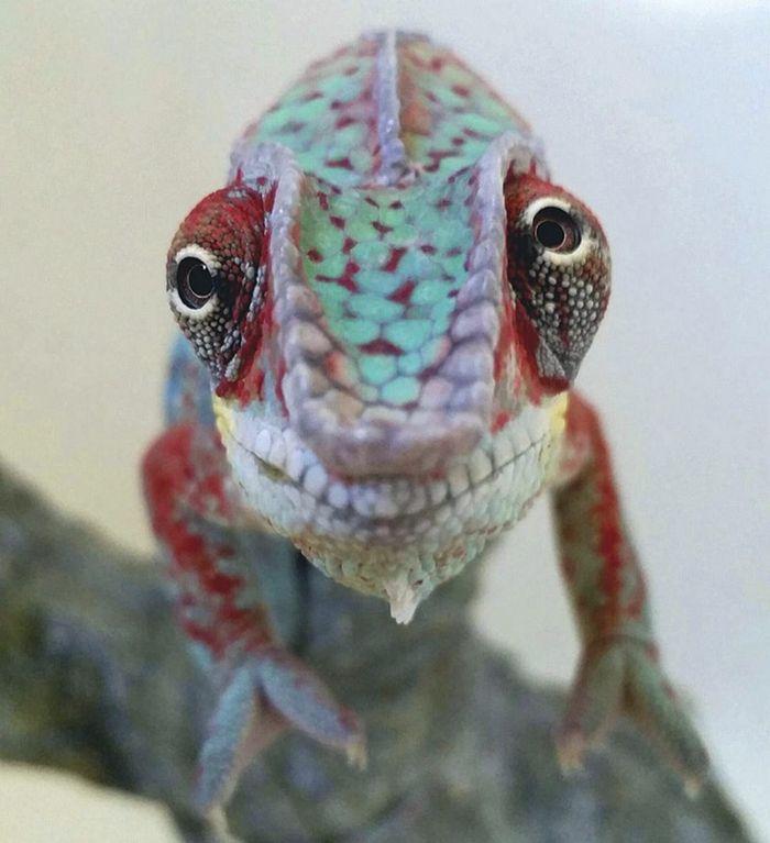 04 camaleonti piccolissimi