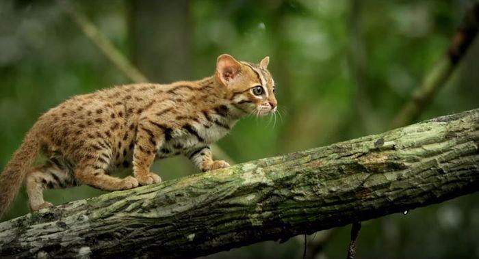 04 il gatto selvatico più piccolo del mondo
