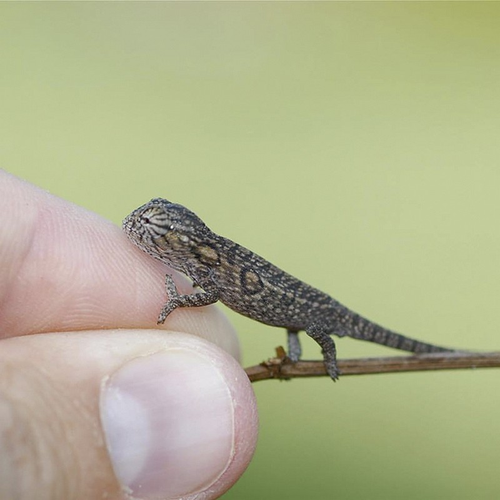 05 camaleonti piccolissimi