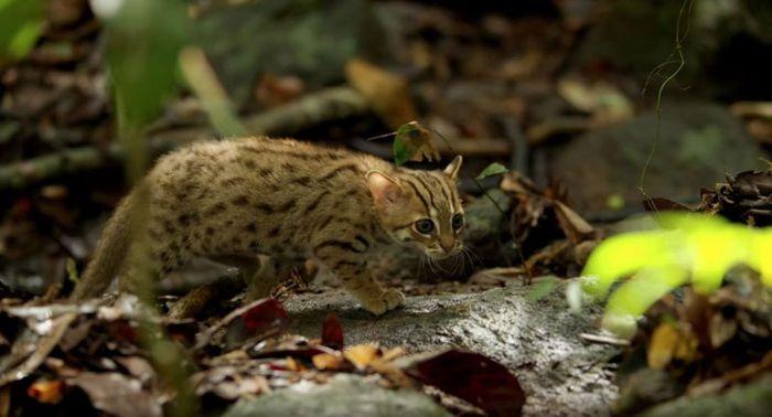 05 il gatto selvatico più piccolo del mondo