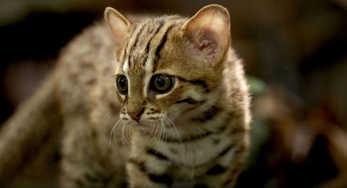 06 il gatto selvatico più piccolo del mondo