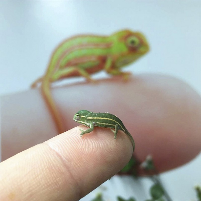 07 camaleonti piccolissimi