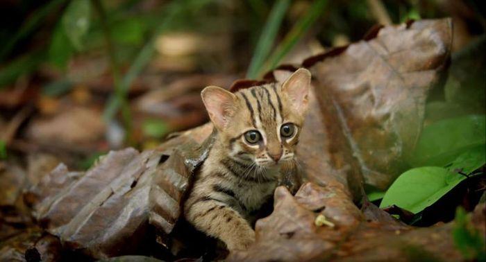 07 il gatto selvatico più piccolo del mondo