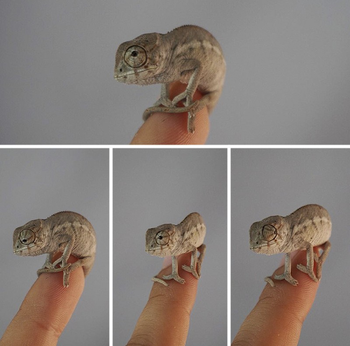 08 camaleonti piccolissimi