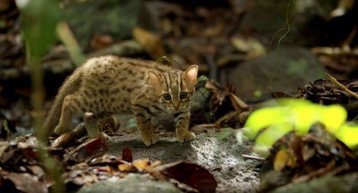 08 il gatto selvatico più piccolo del mondo