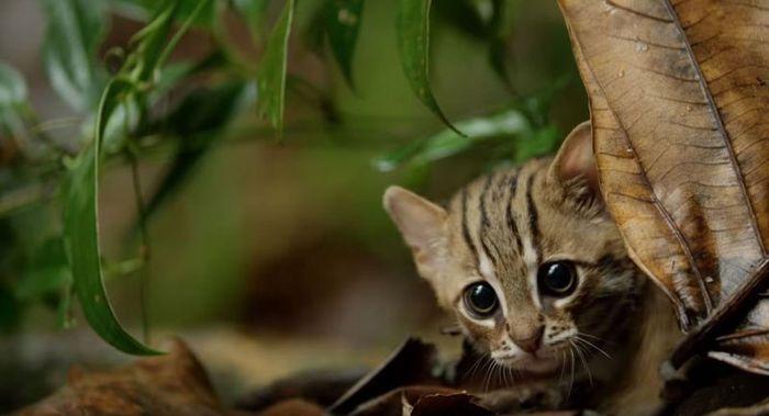 09 il gatto selvatico più piccolo del mondo