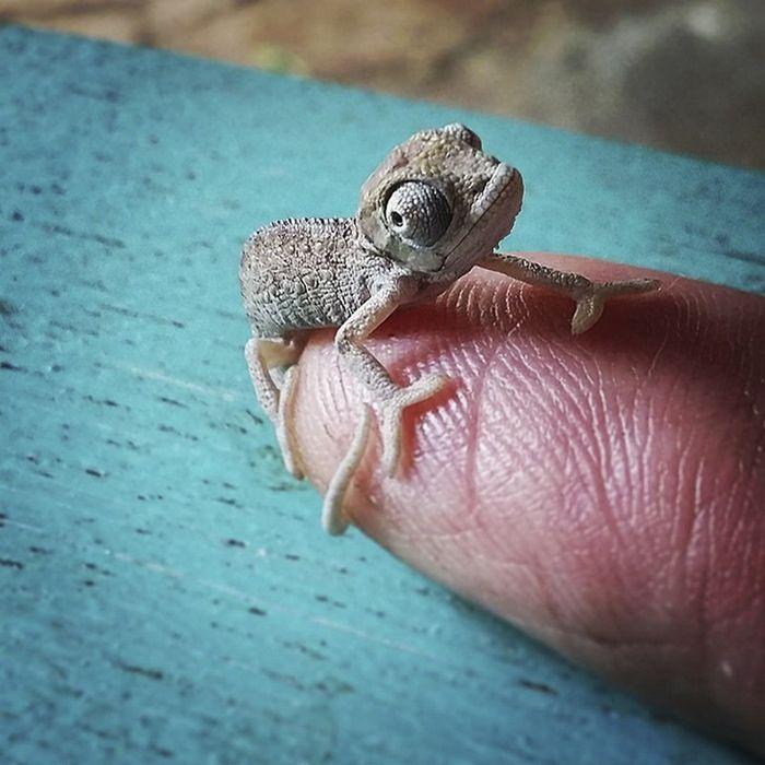 11 camaleonti piccolissimi