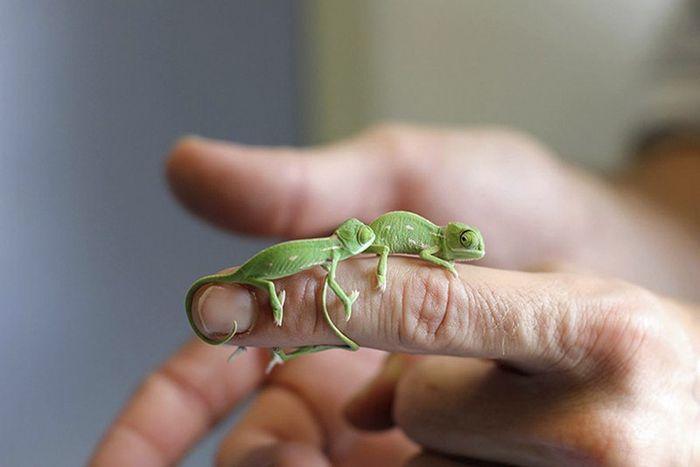 12 camaleonti piccolissimi