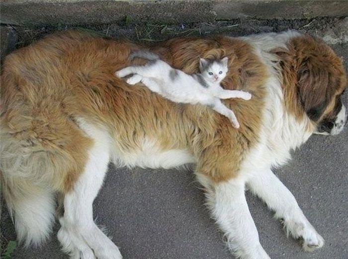 01 Gatti che dormono sui cani