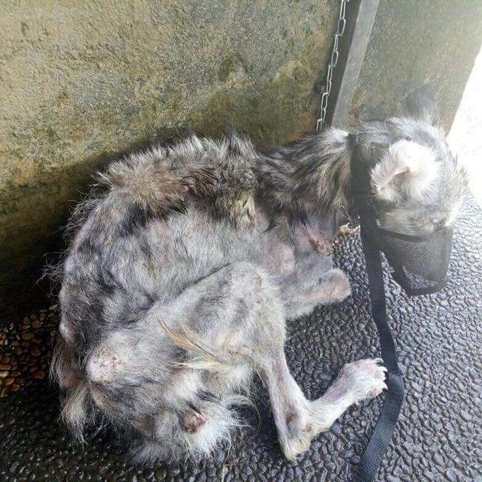 02 Husky abbandonato e poi nutrito e guarito