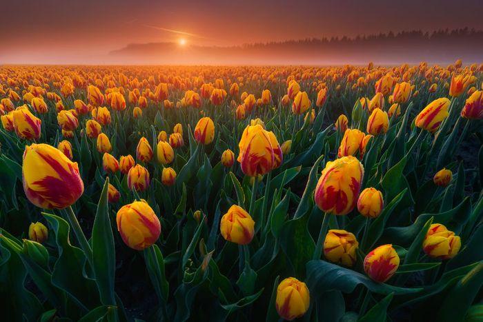02 I tulipani in Olanda visti da un grande fotografo