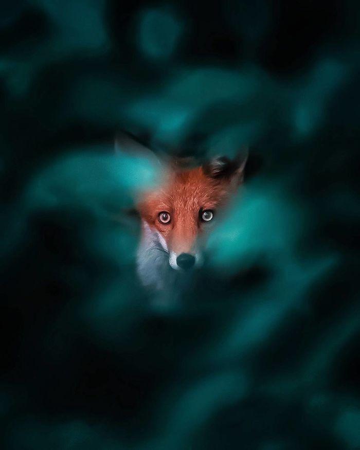02 Le volpi misteriose e affascinanti negli scatti del fotografo finlandese Ossi Saarinen