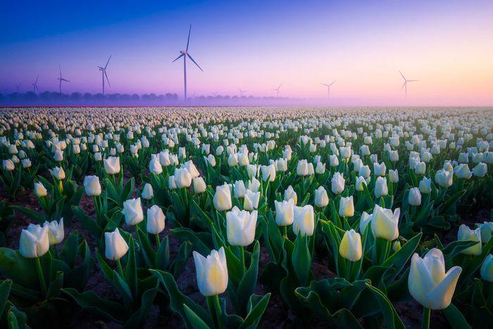 03 I tulipani in Olanda visti da un grande fotografo