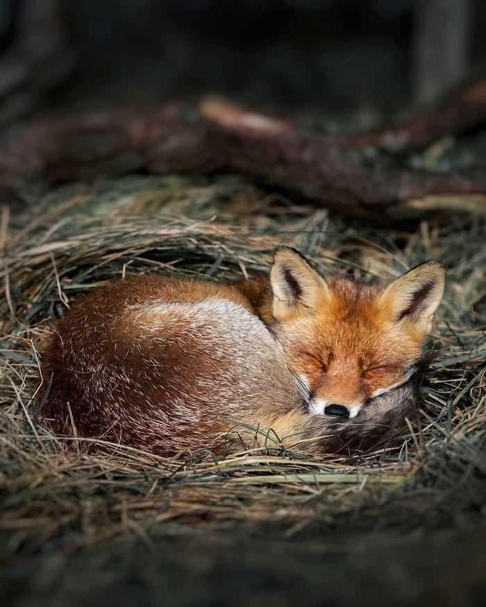 03 Le volpi misteriose e affascinanti negli scatti del fotografo finlandese Ossi Saarinen