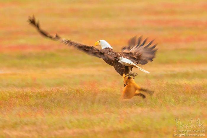 03 Un coniglio una volpe e un'aquila tutti e tre in volo