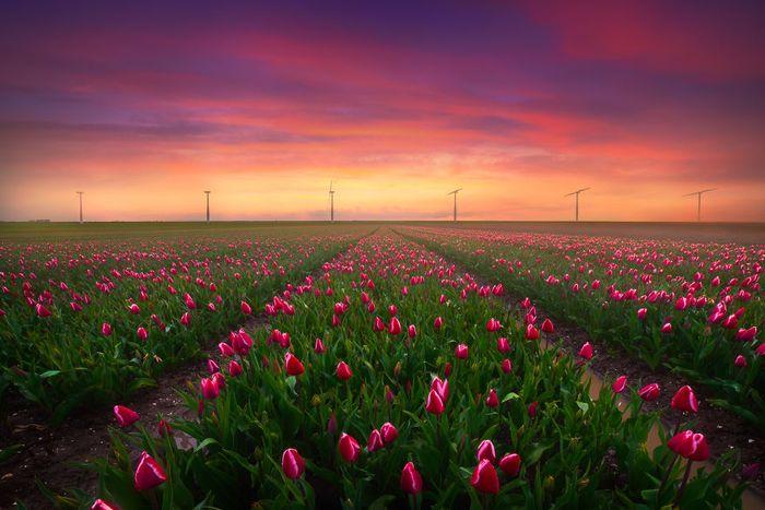 04 I tulipani in Olanda visti da un grande fotografo