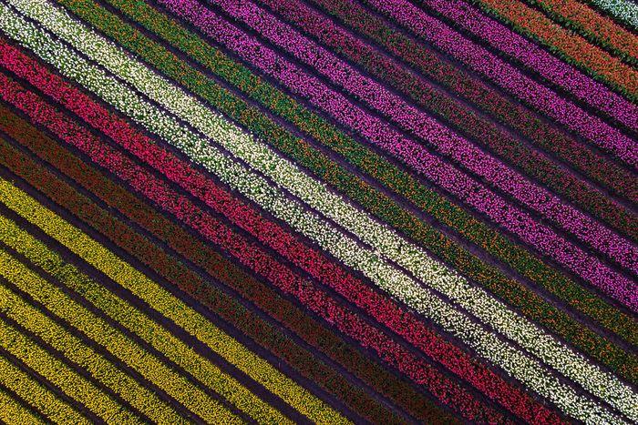 05 I tulipani in Olanda visti da un grande fotografo