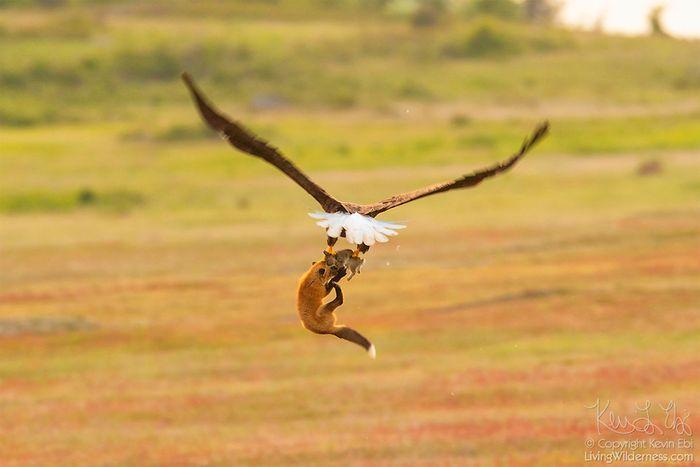 05 Un coniglio una volpe e un'aquila tutti e tre in volo