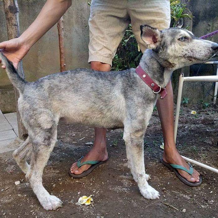 06 Husky abbandonato e poi nutrito e guarito