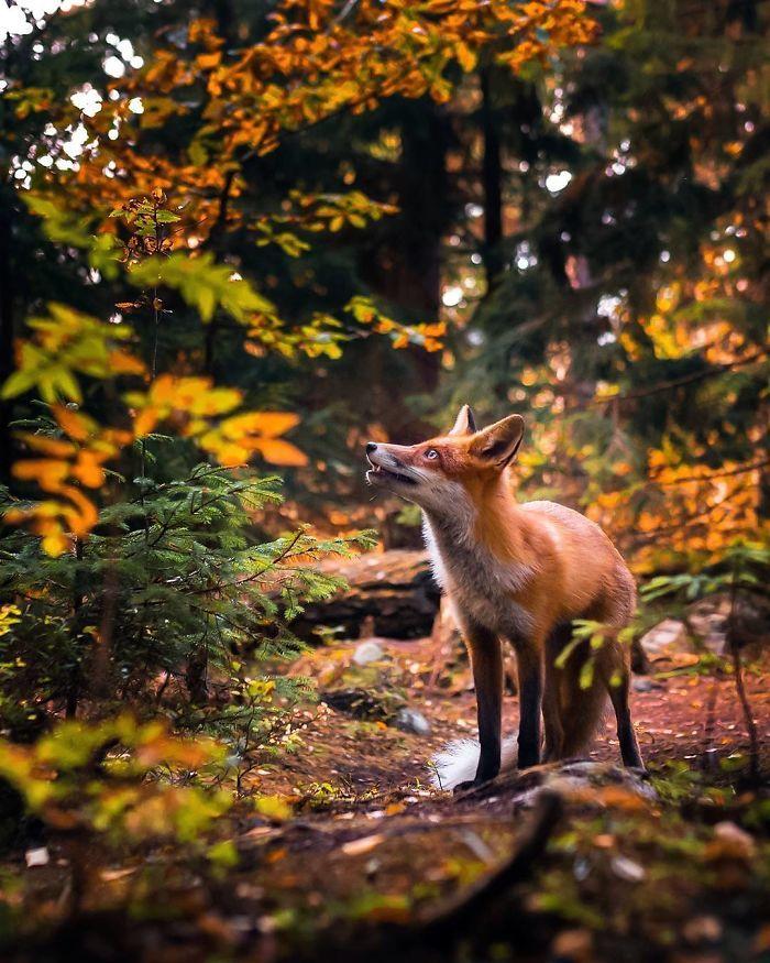 06 Le volpi misteriose e affascinanti negli scatti del fotografo finlandese Ossi Saarinen