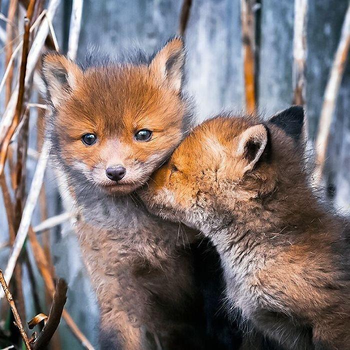 07 Le volpi misteriose e affascinanti negli scatti del fotografo finlandese Ossi Saarinen