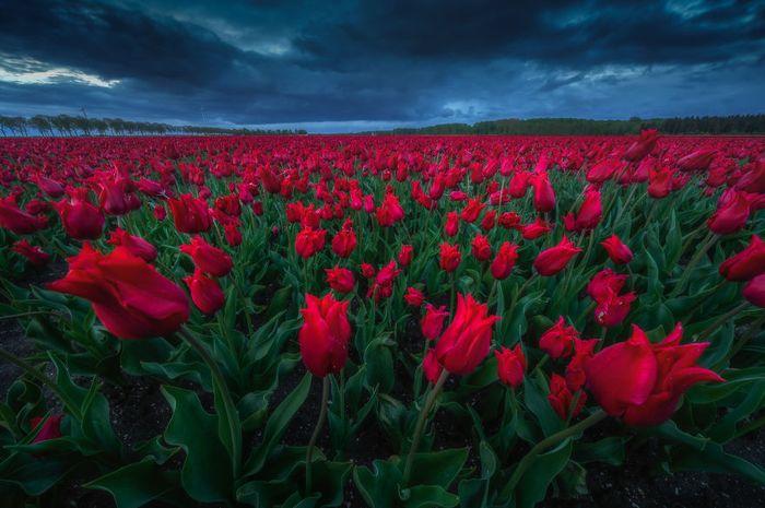 08 I tulipani in Olanda visti da un grande fotografo