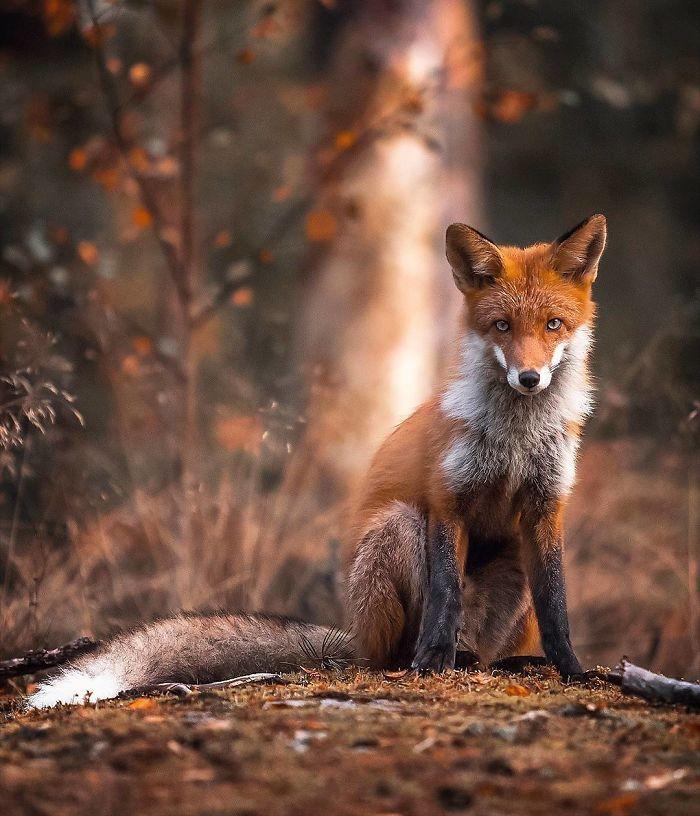 08 Le volpi misteriose e affascinanti negli scatti del fotografo finlandese Ossi Saarinen