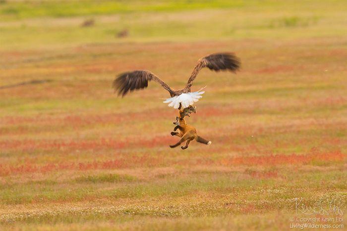 08 Un coniglio una volpe e un'aquila tutti e tre in volo