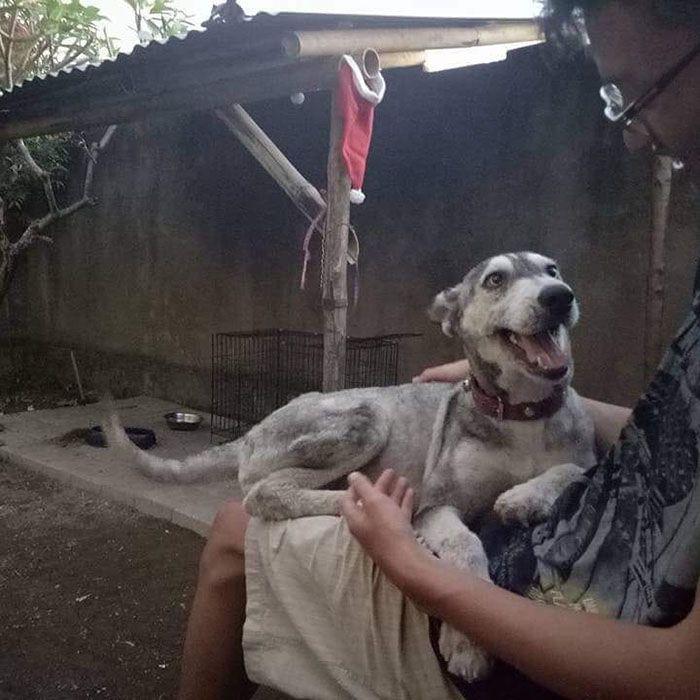09 Husky abbandonato e poi nutrito e guarito