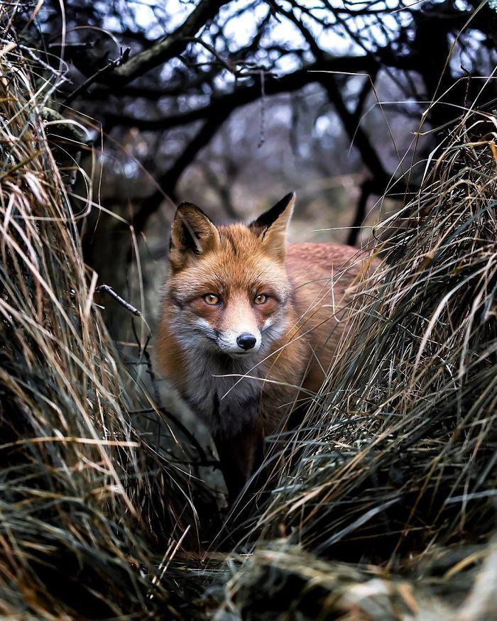 09 Le volpi misteriose e affascinanti negli scatti del fotografo finlandese Ossi Saarinen