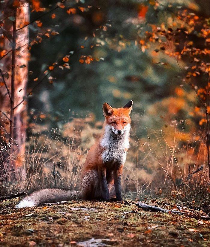 10 Le volpi misteriose e affascinanti negli scatti del fotografo finlandese Ossi Saarinen