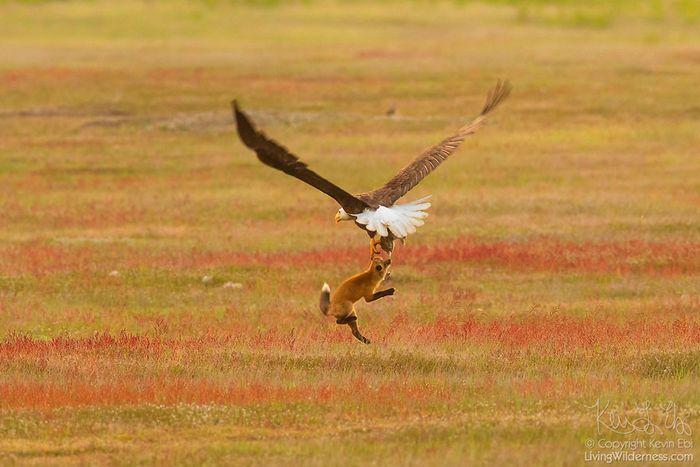 11 Un coniglio una volpe e un'aquila tutti e tre in volo