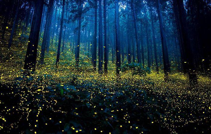 01 Il magico spettacolo delle lucciole nelle estati giapponesi