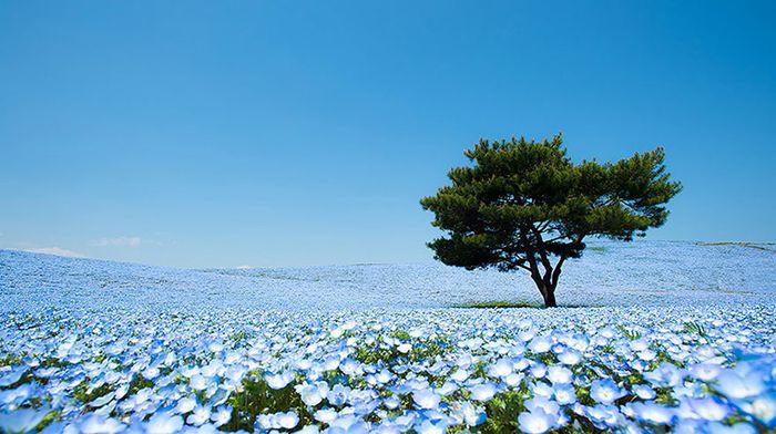 02 Hitashi Seaside Park Un mare azzurro fatto di petali