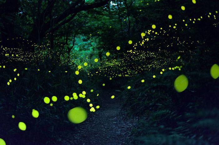 Ogni estate, i fotografi giapponesi , vanno a caccia dello spettacolo visivo offerto da questi insetti. Un momento magico, che accade solo per un paio d'ore nelle notti di giugno.