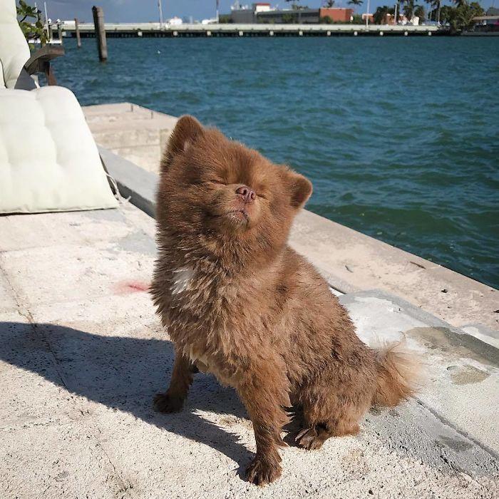 04 Un cane di razza pomeriana che assomiglia ad un orsetto