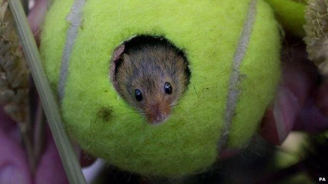 Le palline da tennis di Wimbledon come case per i topini
