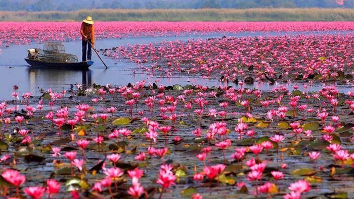 Lo spettacolo del Lotus Flower Lake un lago colorato di rosa