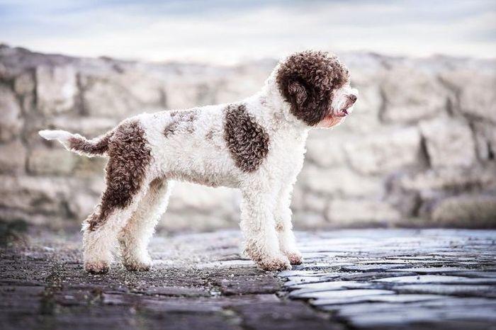 Lagotto Romagnolo-Dieci tra le razze di cani più rare e meno conosciute