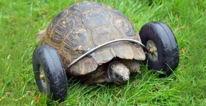 Tartaruga di 90 anni perde gli arti anteriori ma grazie al suo padrone ora può quasi correre