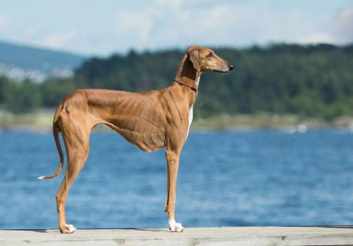 Dieci tra le razze di cani più rare e meno conosciute Azawakh