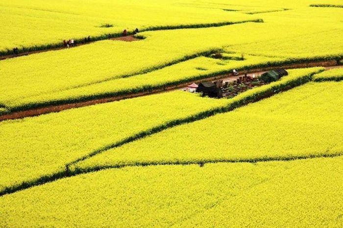 Gli infiniti campi di fiori gialli di Luoping