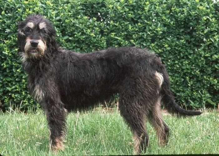 Dieci tra le razze di cani più rare e meno conosciute Griffon Nivernais