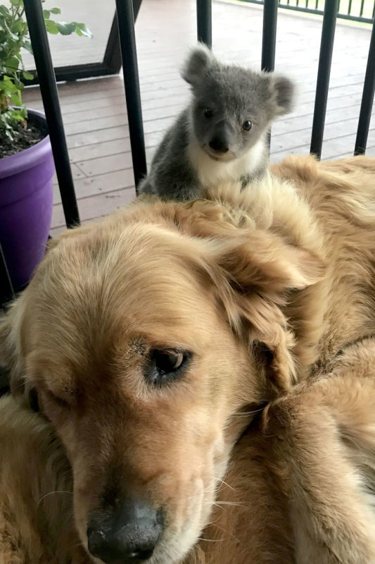 Piccolo koala salvato da un Golden Retriever