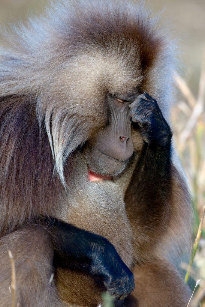 """05 Le scimmie come """"Le Penseur"""" di Rodin"""