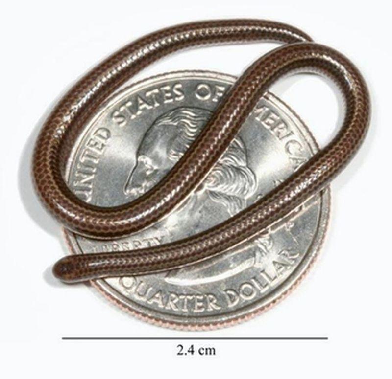 Serpente filo delle Barbados